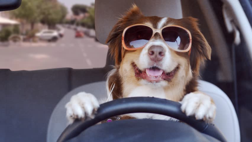 A dog driving a car on a suburban street wearing funny sunglasses #1024867412