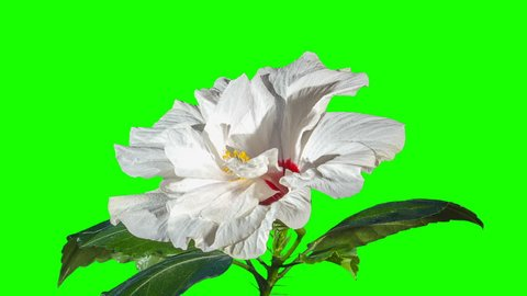 Blooming white Hibiscus flower buds green screen, FULL HD. (Hibiscus syriacus China Chiffon) (Time Lapse)