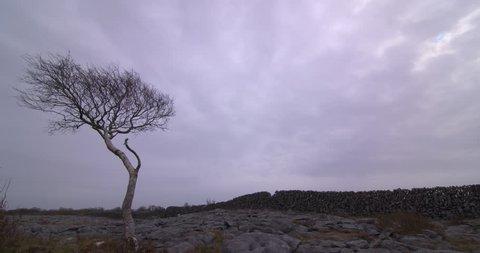 Lone tree in desolate limestone karst landscape Burren National Park Ireland overcast sky