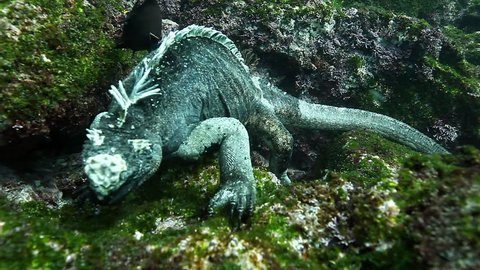 Close-up marine Iguana Amblyrhynchus cristatus underwater ocean. Wild animal Galapagos iguana in pure transparent water on green stone of seabed in marine life of wild nature of Pacific Ocean.