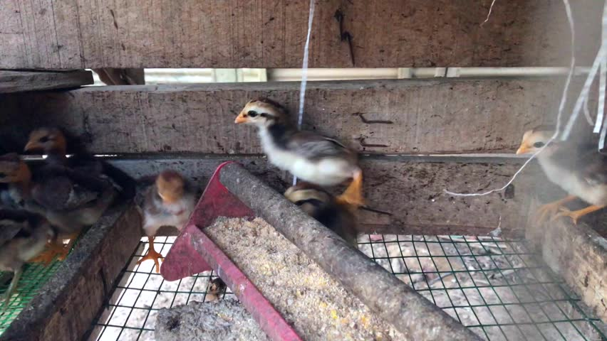 Footage of chicks eat grain and pellet from feed through in the chicken coop