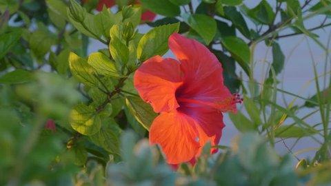 Hibiscus Sabdariffa Flower Stock Video Footage 4k And Hd Video