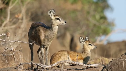 A pair of klipspringer antelopes (Oreotragus oreotragus) in natural habitat, Kruger National Park, South Africa