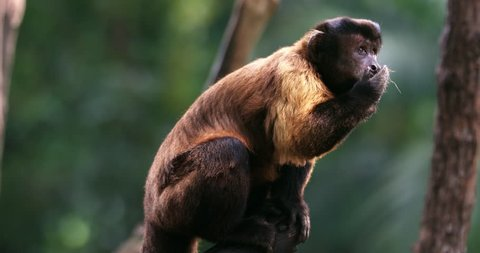 Tufted Capuchin Sapajus apella or Brown Black-capped Capuchin in jungle forest 4K animal video