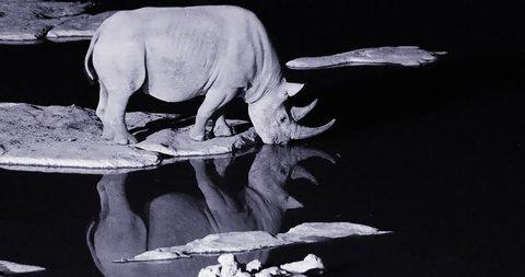 Night footage of wild black rhinoceros, Diceros bicornis, side view, endangered animal drinking from waterhole. Rhino reflecting itself in water surface. Black and white footage. Etosha park, Namibia.