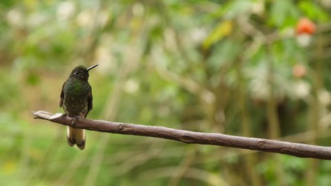 Two Green Hummingbirds Almost Kissing Playing Slow Motion