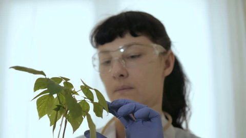 Biologist examines sample. Science, biology, ecology. Professional scientist wearing protective mask working with herb samples in his laboratory. Woman scientist looks at a perishing plant of soy.