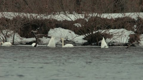 Swans Down Head Under Water In Winter.Whooper Swan Searching For Food.White Swans With His Head Under Water.The Elegant White Swans On The River In Winter.Group Of White Swans In Dirty Water Diving.