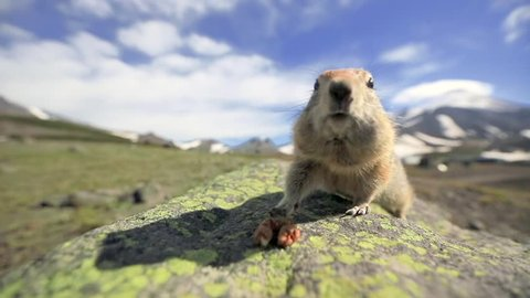 A ground squirrel is looking straight into the camera, finds a nut, sit and start chewing. A funny furry groundhog is in Alaskan wildlife. National Parks of the United States of America