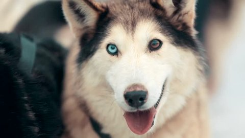 Close-up shot of the Siberian Husky with different colored eyes. Sled dog with almond-shaped eyes of brown and blue looks directly into the camera.
