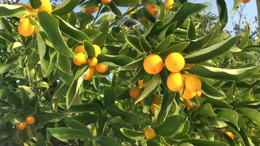 Header of citrus tree