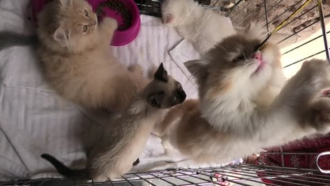 Kittens in cage: siamese cat with blue eyes, a furry red Turkish Angora cat and a grey Angora kitten playing with pet toy.