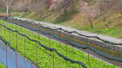 Daio wasabi farm wasabi and plum blossoms in Nagano, Japan : Tilt down, Pan