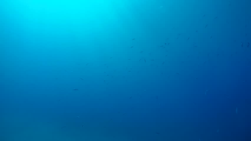 School of Fusilier swim in the blue water under sun rays.  Blue Fusilier or Scissor-tailed Fusilie (Caesio caerulaurea), Red sea, Marsa Alam, Abu Dabab, Egypt
