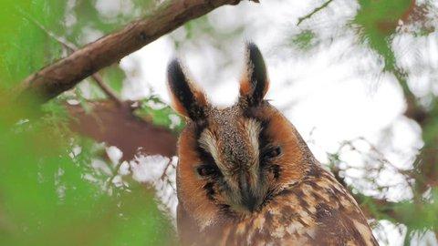 long-eared owl (Asio otus) in iwinter plumage in natural habitat