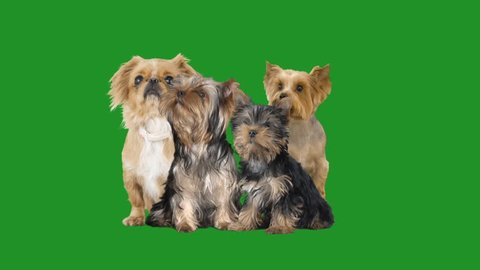 Pekingese and a group of Yorkshire terriers on a green screen