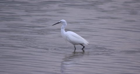 White Little Egret wading bird pecks water for fish and flies way