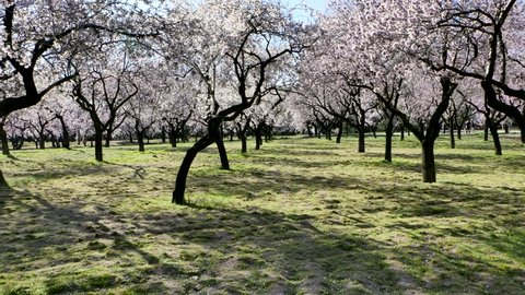 A walking video through almond trees in blossom with pink flowers in spring in Europe at the park of Quinta de los Molinos in Madrid, Spain in spring. Famous park in Madrid with blooming almond trees.