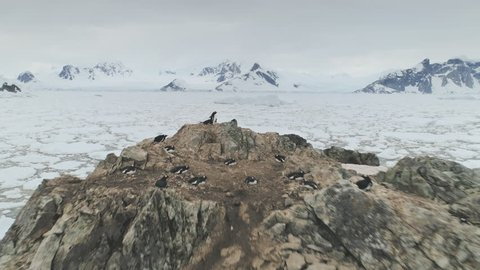 Antarctic Coast Gentoo Penguin Group Aerial View. Harsh Rock Antarctica Landscape Polar Bird Habitant Stand Mountain Coastline. Cold Wildlife North Pole Island Scenery Drone Shot Footage 4K (UHD)
