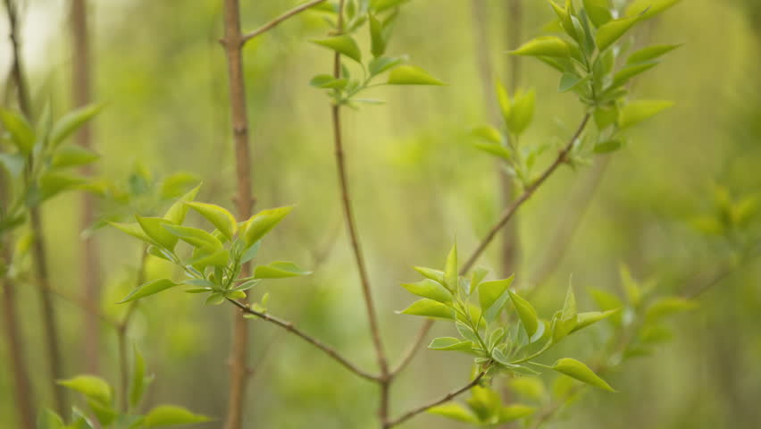 Lilac Leaves Closeup On Spring Stock Footage Video 100 Royalty