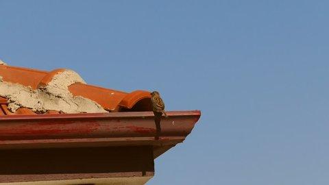 serce nest and sparrow bird, sparrow doing its beak, Sparrow is making its beak,