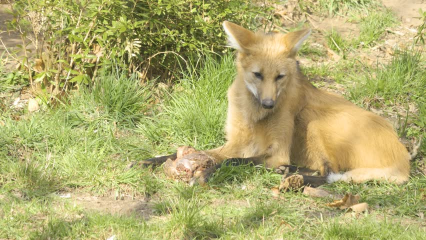 Mane wolf lays in grass chewing on piece of meat. It uses front paws to hold it and tries pulling piece from it. Another mane wolf walks through the foreground, feet  of another walk through the backg