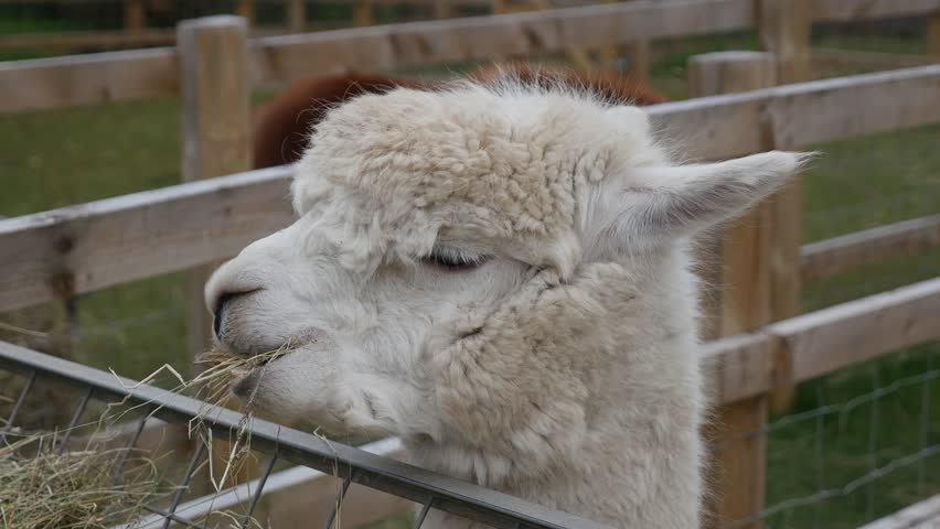 Headshot of an Alpaca eating hay | Shutterstock HD Video #1026771452