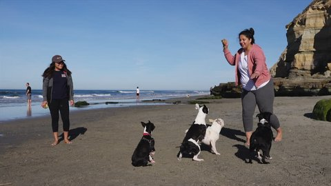 A young Hispanic woman has fun teasing her little dogs (Boston Terrier and French Bulldog) with a ball, the excited dogs jump after it as her friend looks on laughing