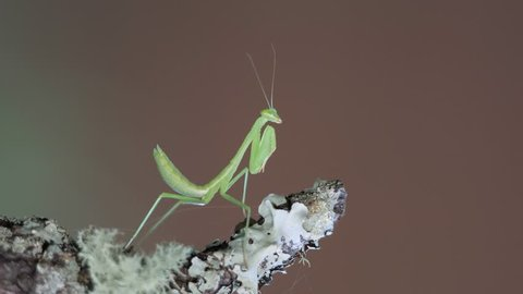 Macro small geen praying mantis insect on lichen covered branch with bokeh background