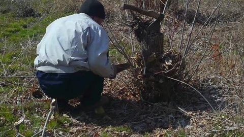 Kyrgyzstan. the city of Bishkek. March 12, 2019 gardener cuts personal branches in the garden.