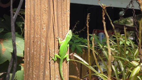 A Green Anole (Anolis carolinensis) American Chameleon Crawling on a Wooden Post