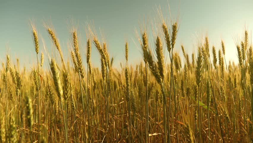 Field of ripening wheat against the blue sky. Spikelets of wheat with grain shakes wind. grain harvest ripens in summer. agricultural business concept. environmentally friendly wheat