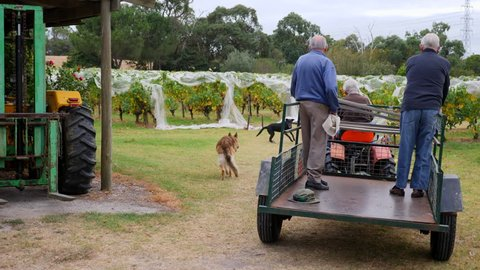 Men on tractor drive down vineyard to collect grapes for harvest with dogs running around