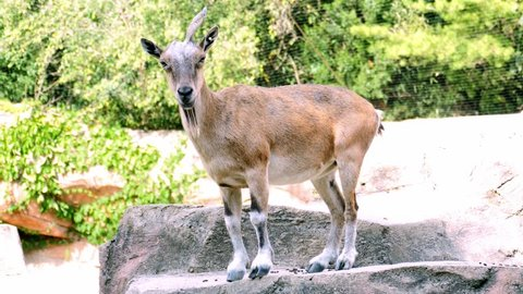 Markhor Goat stands on rocky ourcropping