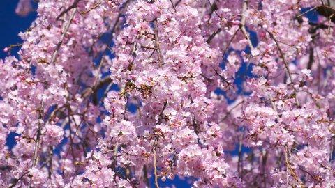 Pink cherry blossom(Cherry blossom, Japanese flowering cherry) on the Sakura tree. Blossoming cherry trees framing the nice blue sky