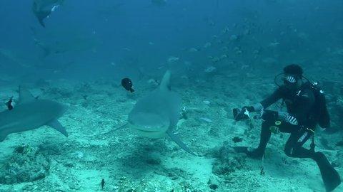 Feeding gray bull shark Carcharhinus leucas from hands of diver underwater Pacific Ocean Tonga..