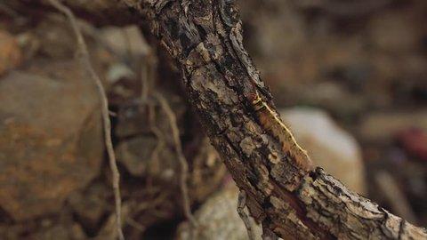 Yellow Caterpillar butterfly Myriapoda diplopoda arthropoda tracheata wild incect