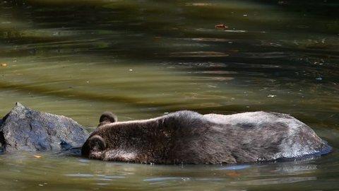 European brown bear (Ursus arctos arctos) looking for fish underwater in pond