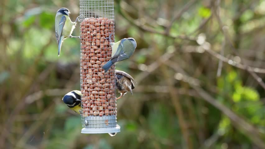 A tree sparrow and several great tits feeding on a peanut feeder and displaying to each other with outstretched wings. | Shutterstock HD Video #1027653842