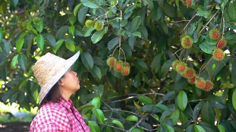 Fruit farmers are collecting rambutans from their trees, at which time rambutan will be fully red.