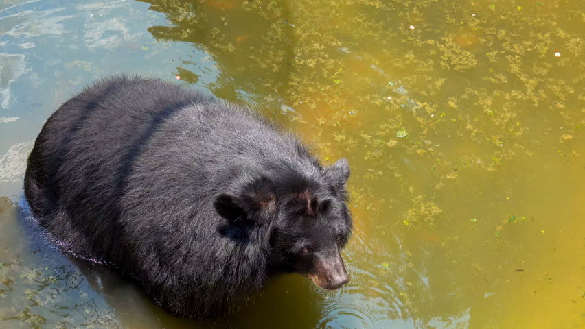 Animal zoo concept, Big bear standing on pond for feeding from tourist travel in zoo, Asian black bear or moon bear is black and have a light brown muzzle and white V shaped chest mark.