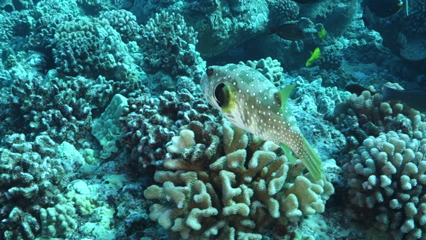 Underwater: Following a Spotted Neon Fish Swim Around Coral in Big Island, Hawaii #1027878782