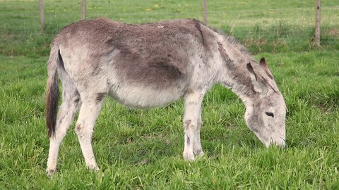 donkey eats grass in the pasture