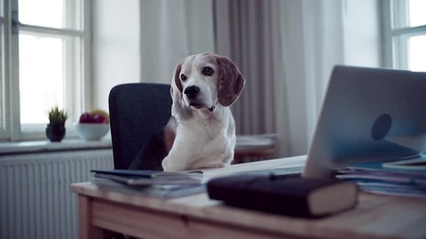 A pet dog sitting on a chair at the desk in home office. Slow motion.