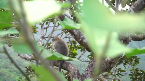 wild monkey in natural camera setting.sitting on the green tree branch,playing and try to eat the plastic cover of snack.very naughty monkey in the tropical island of mauritius.filmed in 4K 25fps