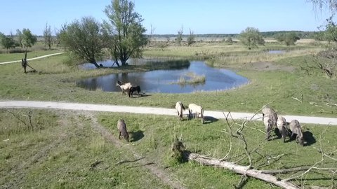 Aerial view of wild Konik horses in National Park Oostvaarders plassen, Flevoland, the Netherlands.