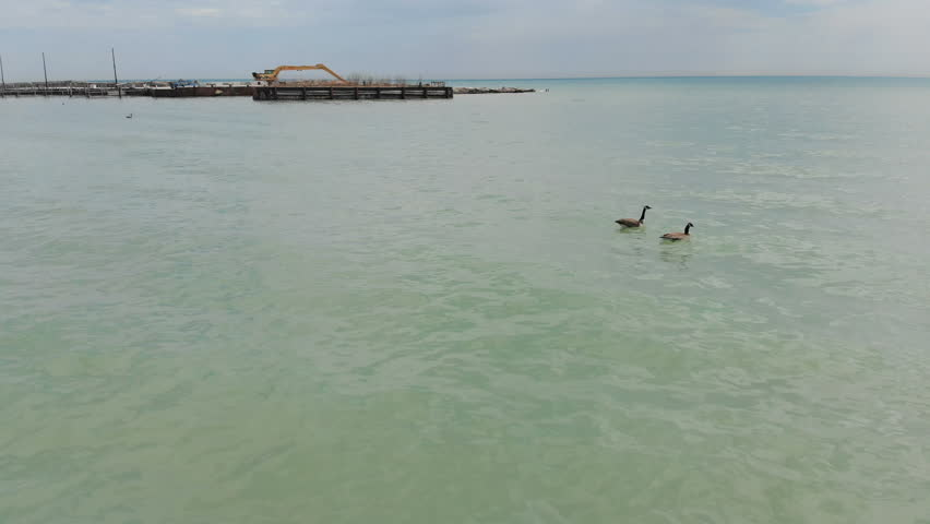 Canada geese, wildlife North America, Michigan lake, drone flying over water