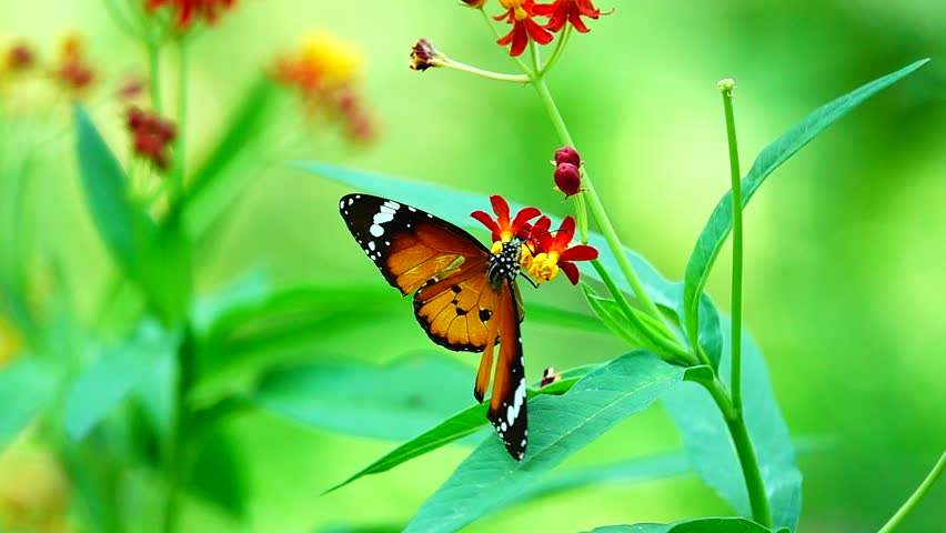 super slow Thai butterfly in pasture flowers Insect outdoor nature | Shutterstock HD Video #1028208392
