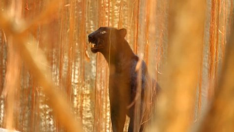 Black panther in Chiangmai Thailand