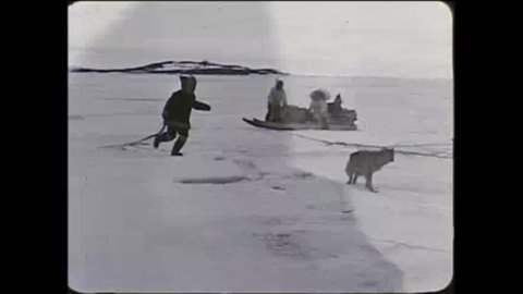CIRCA 1950s - Eskimos in the Arctic move across the tundra using sled dogs in the 1950?s.